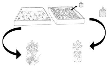pépinières en pleine terre et repiquage en fonction de la densité de semis (Agathe Cornet-Vernet)