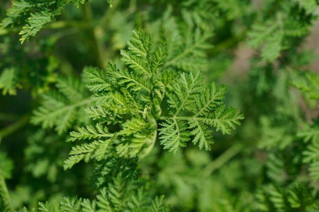 Fiche 0 - Artemisia annua
